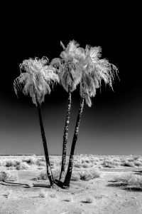 Black and white image of palm trees