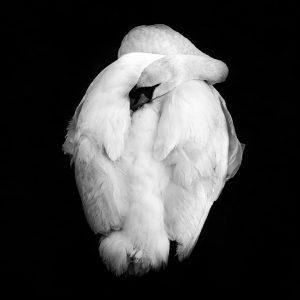 Black and white image of sleeping swan